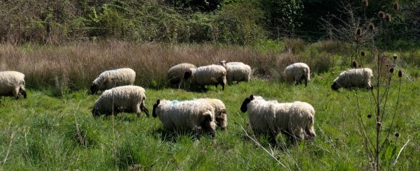 Sheep grazing at Pan Mill Meadows