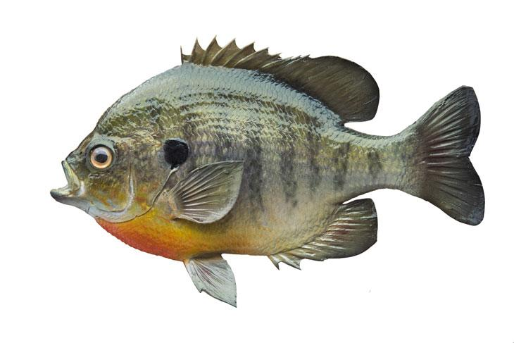 What Is The Difference Between Bluegill Vs Sunfish 02