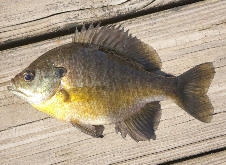 What Is The Difference Between Bluegill Vs Sunfish 01