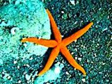 red_ sea_ star