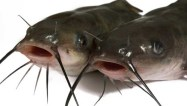 minnesota_river_lake_catfish-704x400