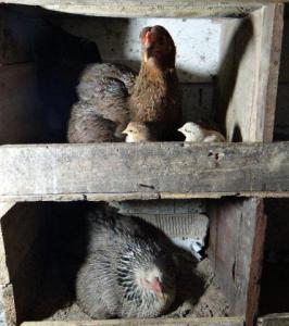 Die Hühner wohen im Stockbett!