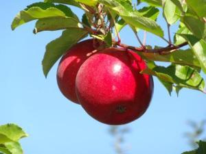 Selber Äpfel pflücken ist hier was ganz besonderes...