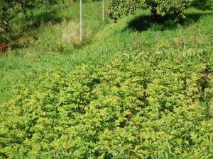 Unser Kartoffelfeld... wir pflanzten sie im Frühlings als wir hier waren...