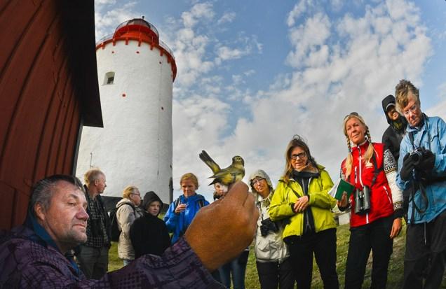 Här blir en gransångare ringmärkt av Bo Holst. Foto Jan Liljeberg