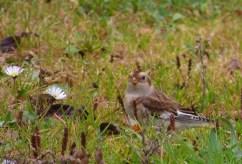 Sista fågeln för resan blev den oskygga snösparven.