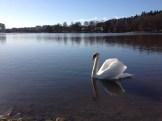 Knölsvanen är en fågel som häckar i Råstasjön och kan ses året om.