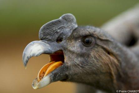Condor des Andes - oiseaux.net