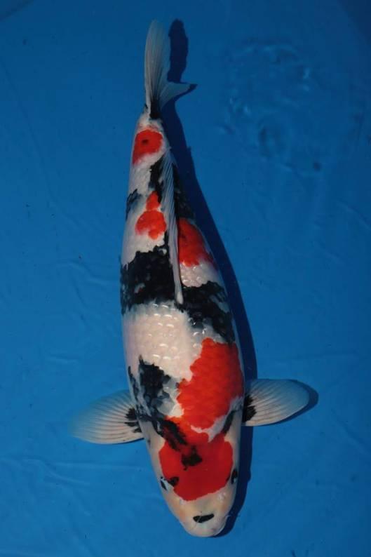 ikan koi showa termahal