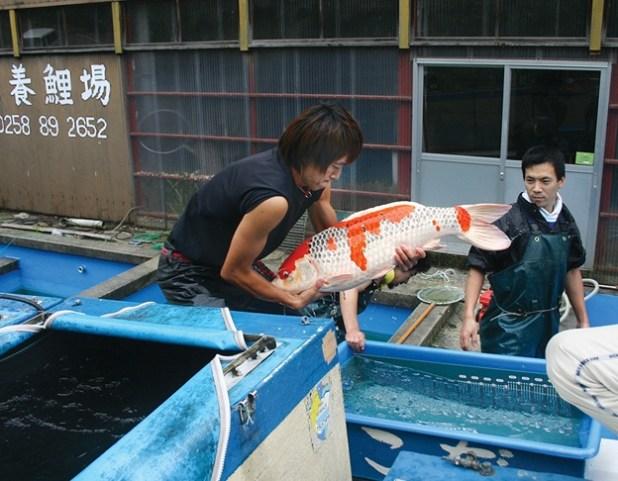 budidaya ikan koi di jepang
