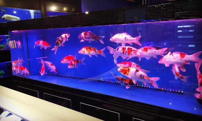 Inilah Tips Memelihara Ikan Koi Di Dalam Aquarium