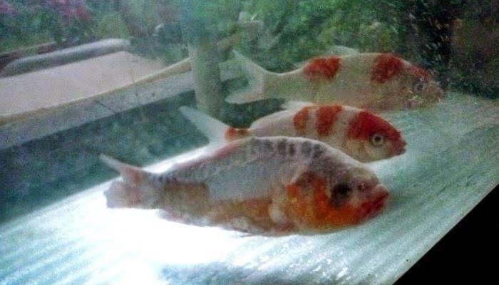 Cara Merawat Ikan Koi yang Sedang Sakit