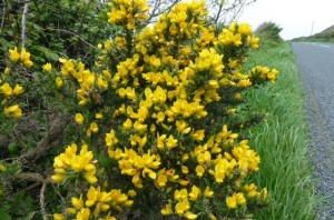 Gorse is everywhere