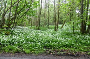 Wild garlic in profusion