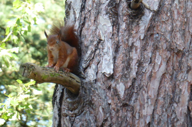 Never saw one in Scotland. This is a scouser red squirrel