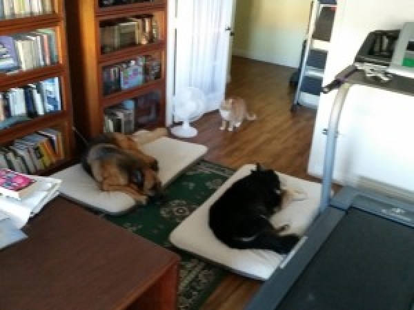 Day 10. My writing family - Alex (4-year-old orange cat), Gentle Ben (11-year-old German Shepherd) and Maile (14-year-old Australian Shepherd/Husky). Our gray cat, Lucy, is sleeping on the printer again. Our black cat, George, is off in a bedroom. (Note the treadmill.)
