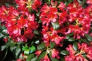 wow, you'll need your sunglasses for this Rhododendron
