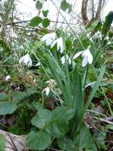 The snowdrops are fading now, soon to be followed by wood anemones and bluebells