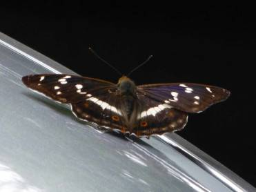 Male Purple Emperor on the bonnet of our car