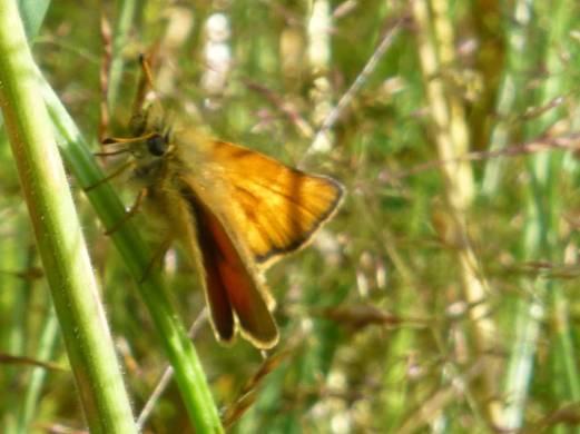 Skipper, a very moth like butterfly