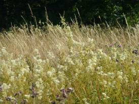 Meadowsweet in a damp area of the meadow