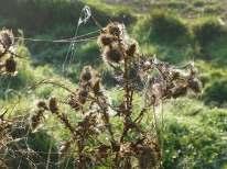 Webs on Thistles