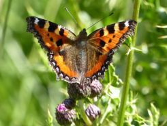 Small tortoiseshell on creeping thistle