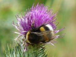 Bumblebee on spear thistle
