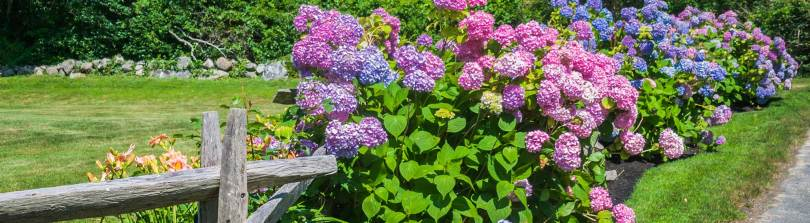 Hydrangea Care  How to Plant  Grow   Care for Hydrangeas Betterdays In Full Swing