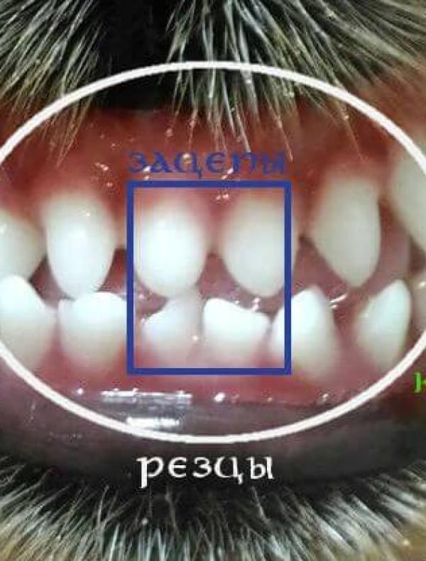 Определение возраста собаки по зубам. На фотографии обозначены резцы, в том числе, зацепы, и клыки.