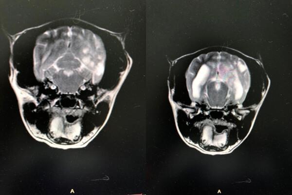 Менингоэнцефалит у собаки мелкой породы. Результаты МРТ.