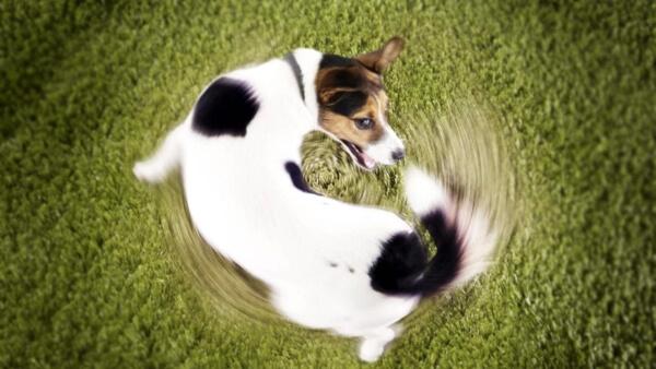 Пример обсессивно-компульсивного расстройства собак. Преследование хвоста.