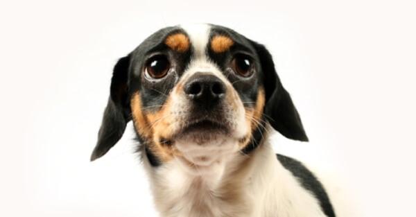 Собака боится ветеринарного стоматолога.