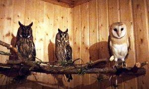 Владелица птиц с многолетним стажем и ассистент орнитолога Ефремова Е. Ю. отвечает на вопрос «где купить сову?» и рассказывает, как содержать сов в домашних условиях.