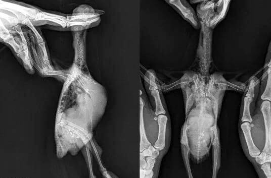 Туберкулёз у птицы на рентгене (подтверждён лабораторно).