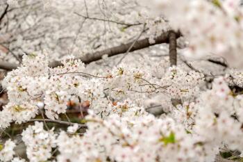 西浦温泉桜まつりに屋台は出るの?