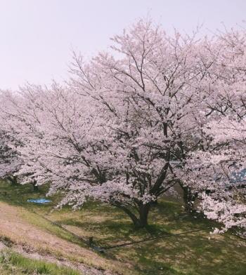 笠原桜公園のお花見に行ってみて特に良かった点は?