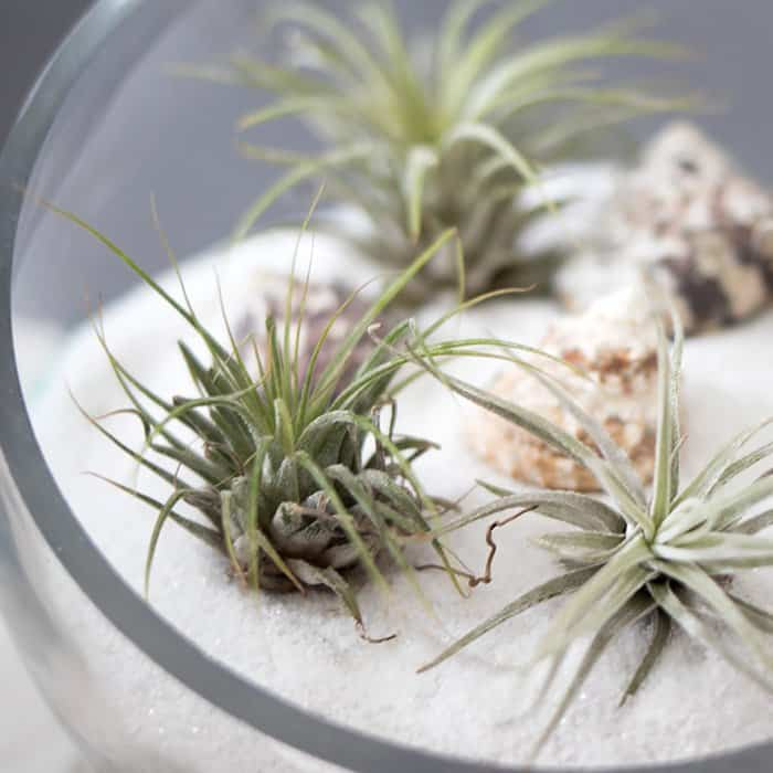 Air plants Tillandsia