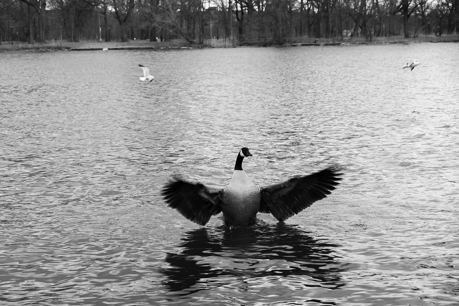 a goose flaps its wings