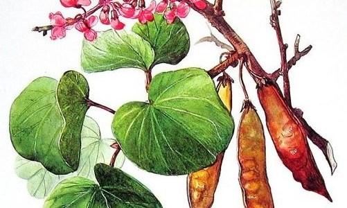ריבוי עצים – גידול חרוב וכליל החורש מזרעים