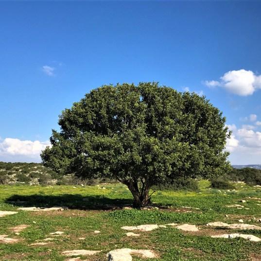 עץ חרוב גדול מימדים עומד בדד ונראה למרחוק - מקום מפגש לרועים ועוברי אורח. חורבת בית נטיף שליד בית שמש