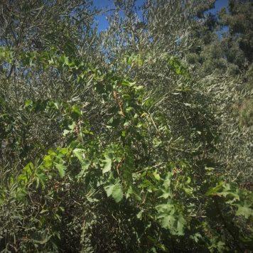 עמק התכלת-גפן מטפסת על עץ זית