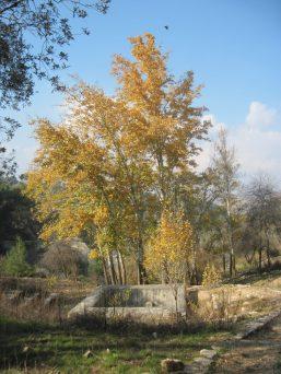 עמק התכלת-עצי הצפצפה בחורף