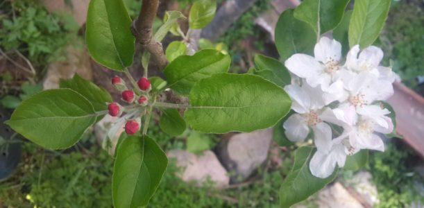 גידול עצי תפוח בגינה הביתית