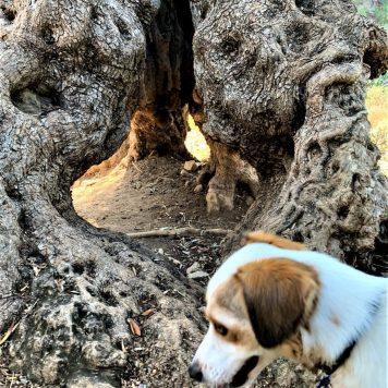 עץ זית עתיק ליד עין קדם