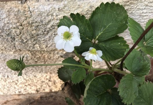 איך תות נולד? שלב המעבר מפרח לפרי מתרחש בחורף.
