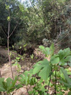 נחל עובדיה (מארס 2020) העיר האבודה - לאורך היובל הדרום מזרחי - עצי תאנה באפיק הואדי