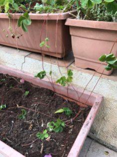 ריבוי תותים משלוחות - לאחר שהשלוחות גדלו ניתן לפרוס אותם לעציץ חדש עם אדמת שתילה טובה וקומפוסט