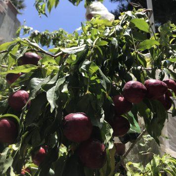 עץ שזיף עמוס פרי בתחילת הקיץ