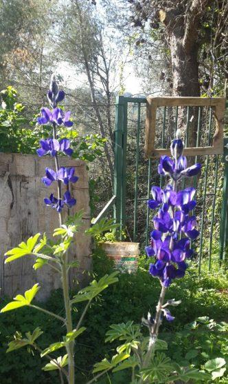פרחי התורמוס בשיא פריחתם באמצע חודש מארס